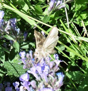 Silver Y moth ©Ian Saunders, Stoke Goldington 14 June 2018