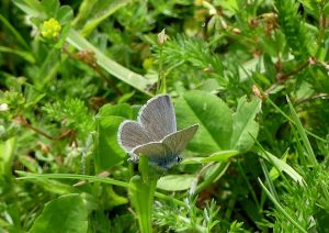 Small Blue butterfly ©Janice Robertson, Stonepit Field 10 June 2018