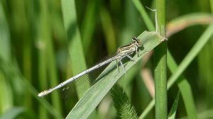 White-legged damselfly ©Janice Robertson, Stonepit Field 10 June 2018