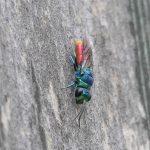 Ruby-tailed wasp ©Janice Robertson, Rutland Water 6 September 2017