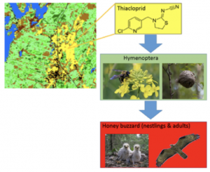 Neonicotinoid residues in European Honey Buzzard
