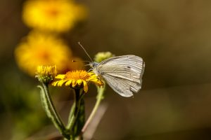 Green Veined White, CC BY-NC-SA by Peter Hassett, Felmersham Gravel Pits 11 August 2018