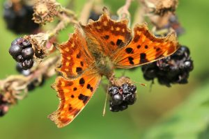 Comma (Polygonia c-album) ©Julian Lambley at  Little Linford Wood 4 September 2018