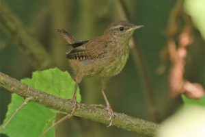 Wren, Troglodytes troglodytes ©Julian Lambley at  Little Linford Wood 4 September 2018